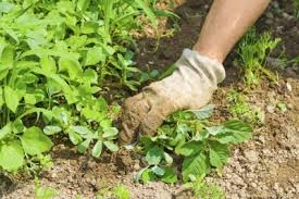 how to kill weeds in garden. tips for controlling weeds in a vegetable garden how to kill