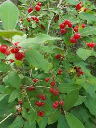 Asian shrub with red berries