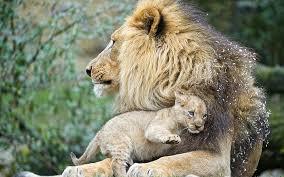 hd wallpaper lions cub love 1 lion
