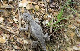 Rattlesnake Education And Awareness Northern Fence Lizard