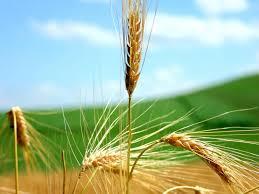 Resultado de imagen de superación trigo