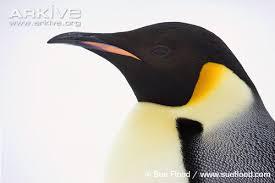 real emperor penguin. Contemporary Real Emperor Penguin Profile Intended Real Penguin E