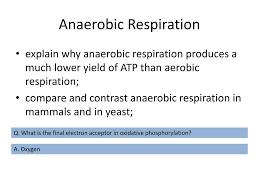 anaerobic respiration powerpoint ppt presentation