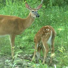 Fawn Age Chart At What Age Can A Fawn Survive Without Its Doe Video