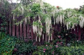 Hydrangea Anomala Best Climbing Plant For Shade  The Best Climbing Plant For Shade