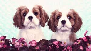 Cavalier Weight Chart Serving Size Per Day For A Cavalier King Charles Spaniel