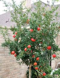 Fruit Trees For Central Texas