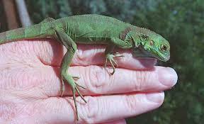 Home Page Of Kiwi The Baby Iguana