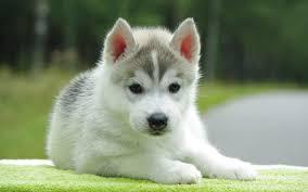 cute siberian husky puppy wallpaper. Perfect Puppy Cute Husky Puppy To Siberian Wallpaper R