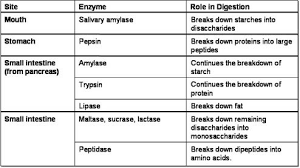 Human Digestive Enzymes Chart Enzymes Biological Molecules And The Digestive Sytem