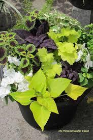 Light Green Sweet Potato Vine Together Coleus Sweet Potato Vine And Impatiens Make A
