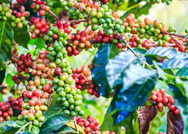 Most of the older coffee plants have been removed or are being removed. What Is Arabica Coffee Arabica Vs Robusta 11 Tasty Differences Enjoyjava