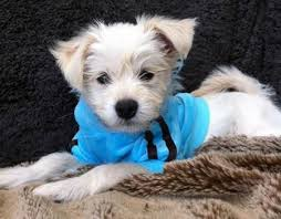 white terrier mix puppies. Fine Mix Teddy The Terrier Mix  Dog Breed Chihuahua  West Highland White To Puppies Pinterest