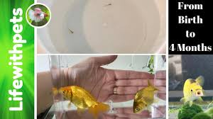Goldfish Fry From Birth To 4 Months Old