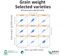 Wheat Seed Weight Differs Between Varieties Agriculture