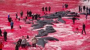 Resultado de imagem para matança de baleias pelo japão