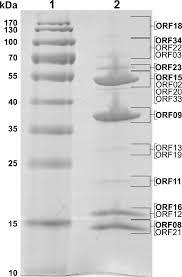 Sds Page Of Arv1 Virion Proteins Lanes 1 Molecular Mass Marker