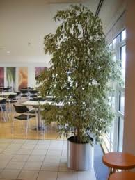 office plant displays. 3 Metre Variagated Weeping Fig In Stoke On Trent Office Plant Displays