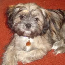 Shih Tzu Puppy Weight Chart  Calculate the Adult Size of a Tzu Shih Poo