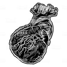 White And Black Human Heart In Hand Drawn Style Anatomical Sketch