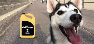 Know The Symptoms of Antifreeze and De-Icer Poisoning - Snowdog Guru