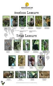Small Picture Red List of Threatened Lemurs Madagascar Biodiversity Partnership