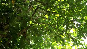 amazon rainforest tree leaves. Interesting Amazon HD Rights Managed Stock Footage  810646820 Intended Amazon Rainforest Tree Leaves S