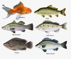 types of fish. barramundi: you will find many people growing barramundi during the spring and winter as they\u0027re more prone to warm weather. using in your types of fish g