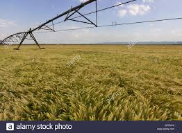 Wheat Field And Irrigation Equipment Sprinkler System Crops Stock