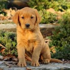 golden puppies for
