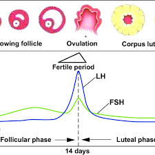 Menstrual Cycle Phases Chart Diagram Of Hormonal Fluctations In The Menstrual Cycle