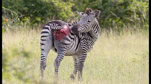 lioness hunting zebra. Perfect Zebra Lion Hunting Zebra Fail  Poor Are Seriously Injured U0026 Very Painful In Lioness U