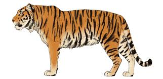 color tiger drawing. Brilliant Tiger Howtodrawbigcatscolorstiger5 And Color Tiger Drawing T