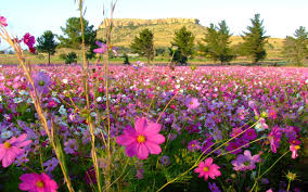 Flower Landscapes Painting Wild Cosmos Fields Flowers Landscape Pink Hd Wallpaper