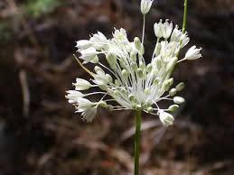 Allium pallens - Wikipedia