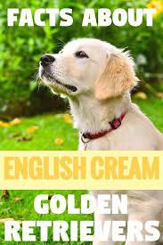 English Golden Retriever Weight Chart The Truth About English Cream White Golden Retrievers
