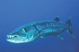 Fish With Attitude Poisonous Fish In Fiji Fiji Shores