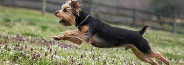 These terriers were once exterminators in coal mines and clothing mills before these toys became lapdogs. All About The Yorkie S Hair Pedigree