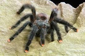 Image result for pinktoe tarantula
