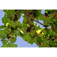 Persian Mulberry Tree U0027shahtootu0027 For Sale From Paradise NurseryIranian Fruit Trees