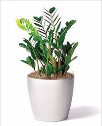 zz office plant best office plant no sunlight