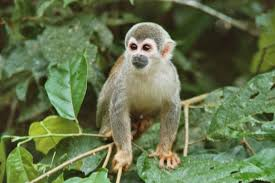 real jungle animals monkeys. Perfect Animals Squirrel Monkey Visiting The Lodge Intended Real Jungle Animals Monkeys M