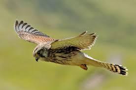 Identify Birds Of Prey The Wildlife Trusts