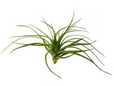 corsican mint great shade trailing plant, more reliable than Low Maintenance Houseplants air plant tillandsia stricta bak low maintenance house plants pictures