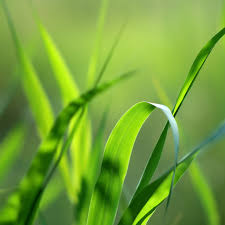 grass blade close up. This Week\u0027s Parasha Contains The Law Of City Refuge. According To Torah, Three Cities In Israel Must Be Designated Serve As Places Exile Grass Blade Close Up
