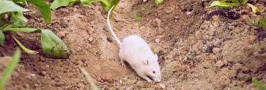 rats have homes and shelter when they are on your property when they stick around your garden that might be underground or some type of structure in