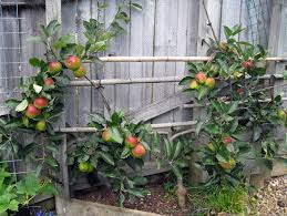 PeachNectarine Triple Grafted 255mm Pot  Dawsons Garden WorldTriple Grafted Fruit Trees
