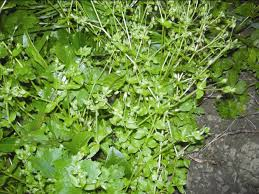 getting rid of chickweed. Contemporary Rid Closeup Of Chickweed Plant For Getting Rid Of