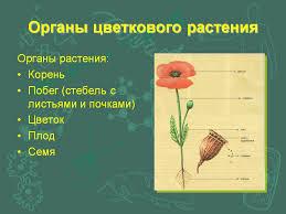 роскошное течение органы цветковых растений вариант  роскошное течение