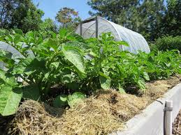 mulching around plants is an excellent way to prevent the growth of weeds susan